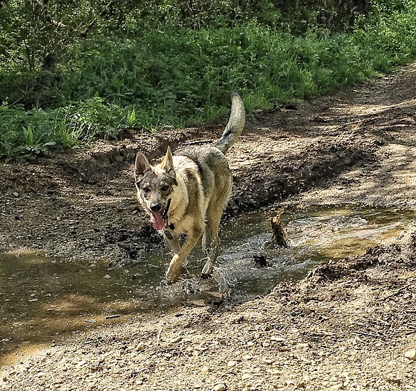 adult gray sable Siberian husky running on river near green grass field during daytime photo