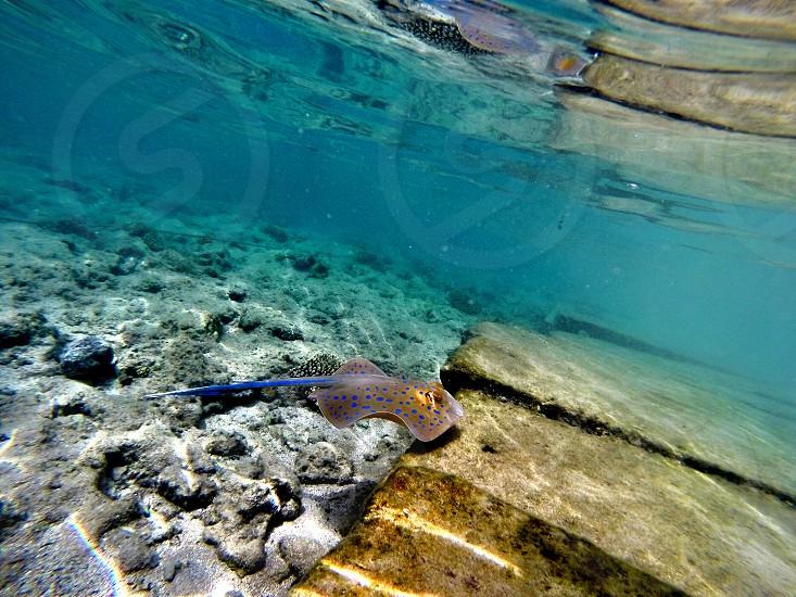 Egyptian Stingray photo