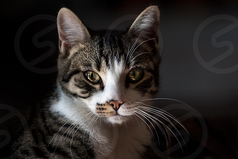 Domestic Tabby Cat Staring at the Camera. Close up Face of a Domestic Tabby Cat Staring at the Camera Against Dark Background. photo