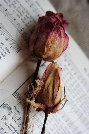 Dried rose on a antique hymnal photo
