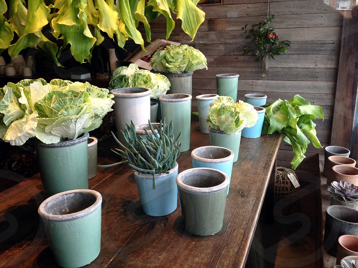 My collection of teal pots perfectly paired with cabbage flowers and succulents! photo