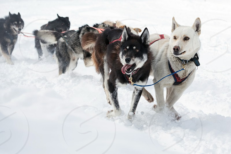 PETROPAVLOVSK-KAMCHATSKY KAMCHATKA RUSSIA - MARCH 2 2014: Kamchatka Dog Sledge Racing Beringia. Dogs in harness running along the white snow. Race-prologue distance of 10 kilometers. photo