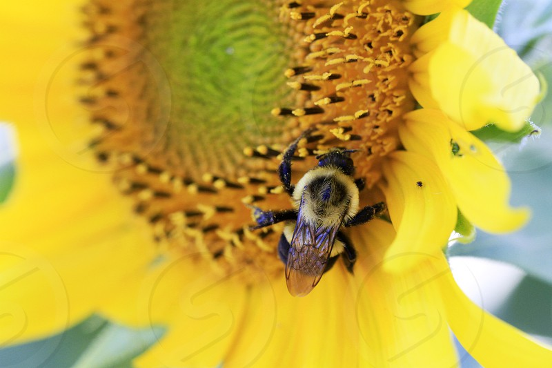 bee pollinating pollinating flower yellow flower photo