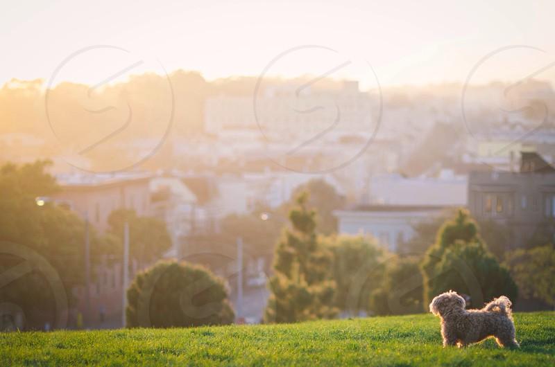 white toy poodle photo