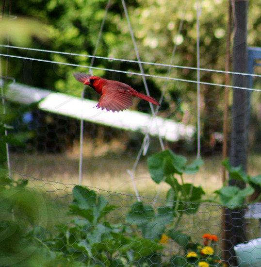 red flying bird photo