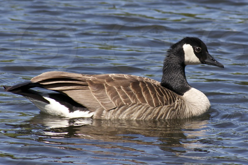 black white and brown duck on water photo