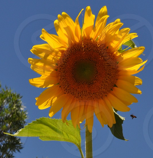 Big yellow sunflower with a bee inflight  photo