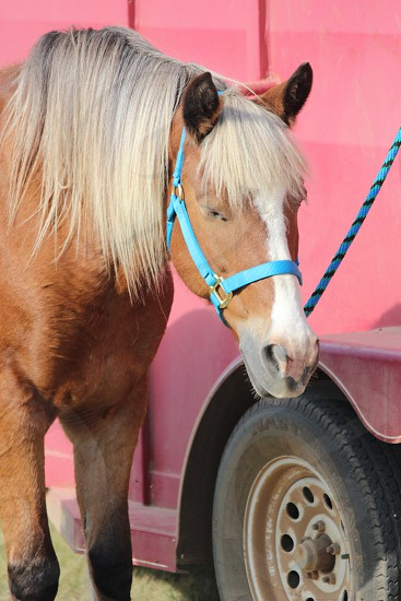 brown horse with blue harness beside red vehicle photo