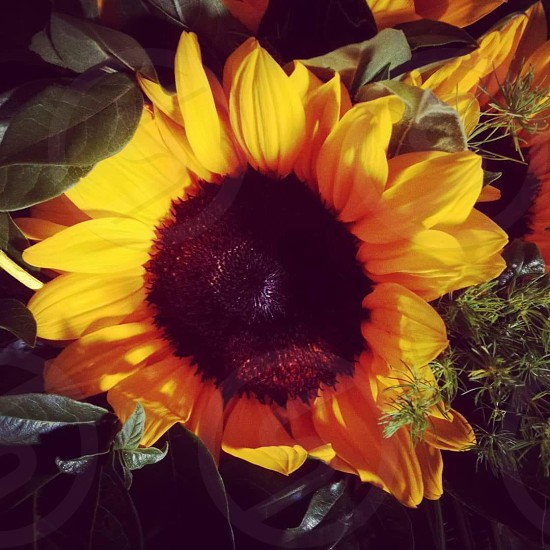 . Keep your face  to the sunshine  And you cannot see the shadows.  It's what sunflowers do (Helen Keller). photo