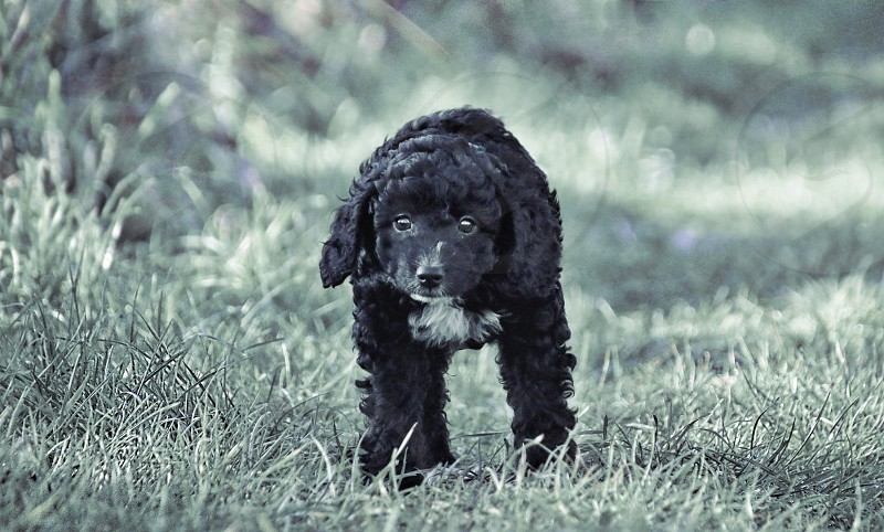 Cockapoo puppy photo