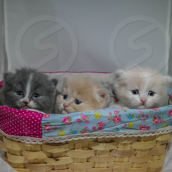 3 kittens in the basket photo
