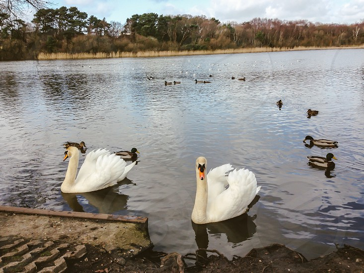 Feeding the birds on the lake swans ducks water lake reflections trees reeds ripples photo