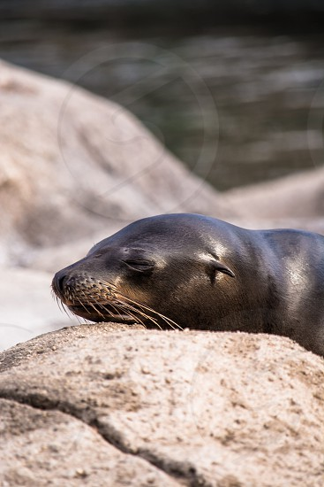 Seal animal nature sleep whiskers sea life ocean life photo