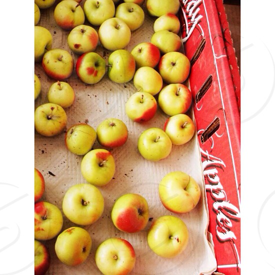 yellow and red apples photo