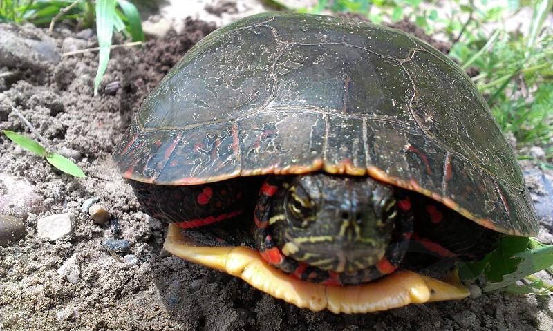 Painted turtle  photo