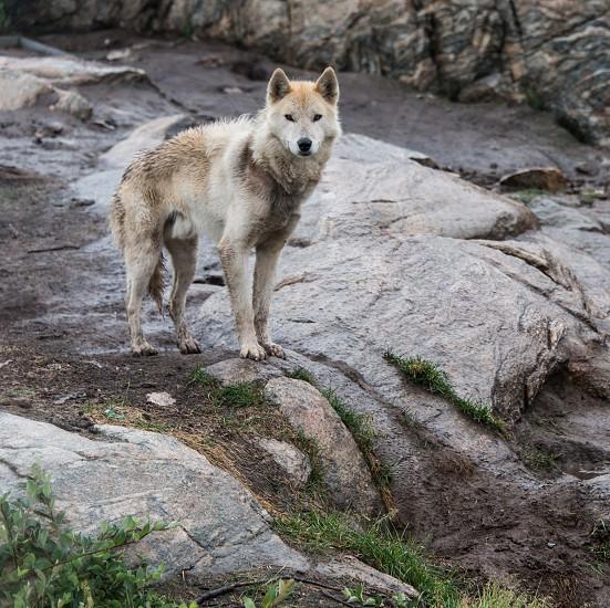 Husky 2 photo