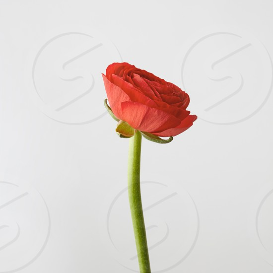 Congratulation card with single beautiful flower ranunculus in a color of the year 2019 Living Coral Pantone isolated on light gray background. Concept Mother's day photo