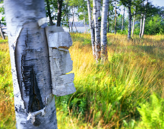 Bark peeling off a birch tree in a grassy meadow. photo