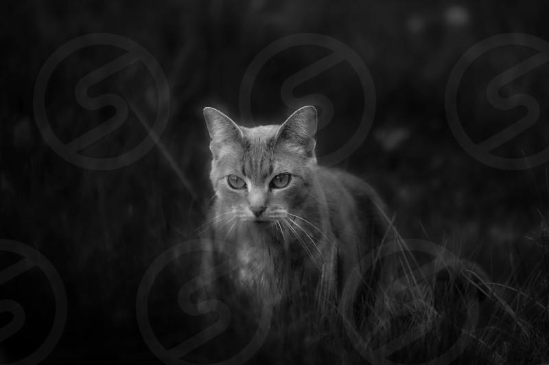 Wild cat in high grasses stalking stance. Black & white image. photo