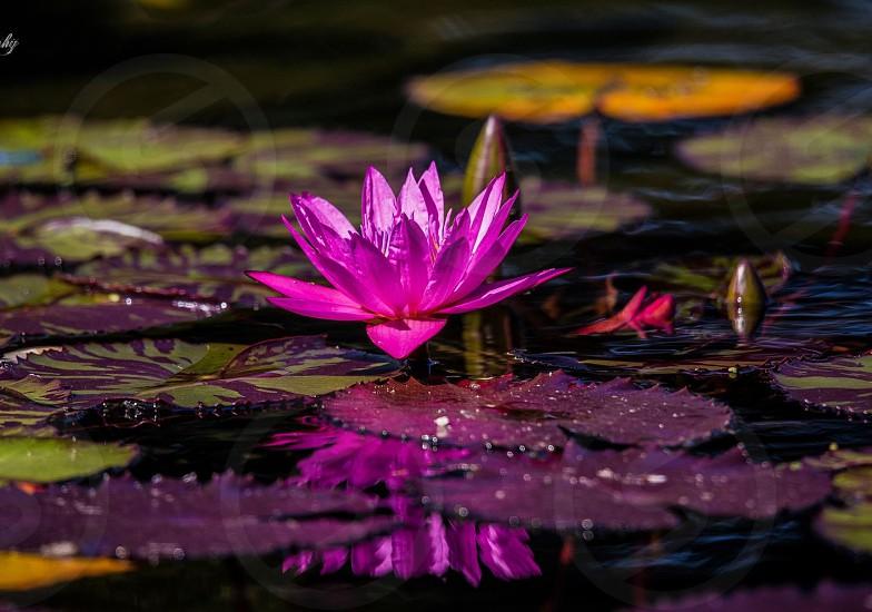 Water lily reflection beautiful nature photo