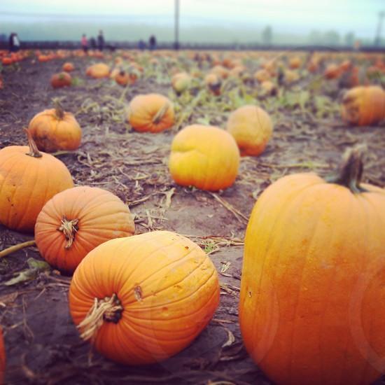 Pumpkin field photo