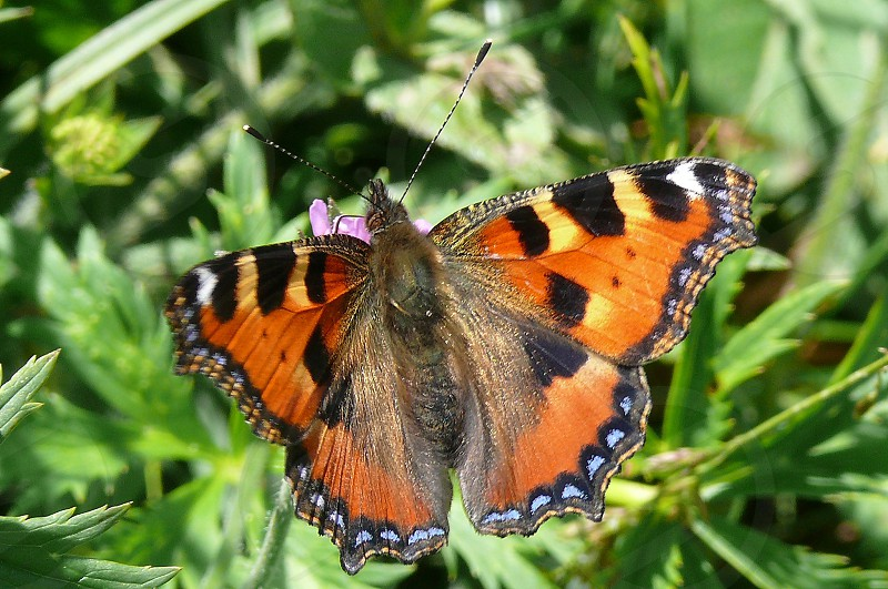 insects butterfly Lepidoptera Aglais urticae photo