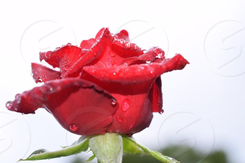 Rose Flower Blossom  photo