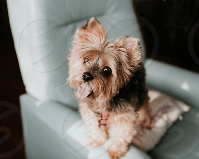 Cute Yorkie dog standing on blue living room chair tilting head for camera photo