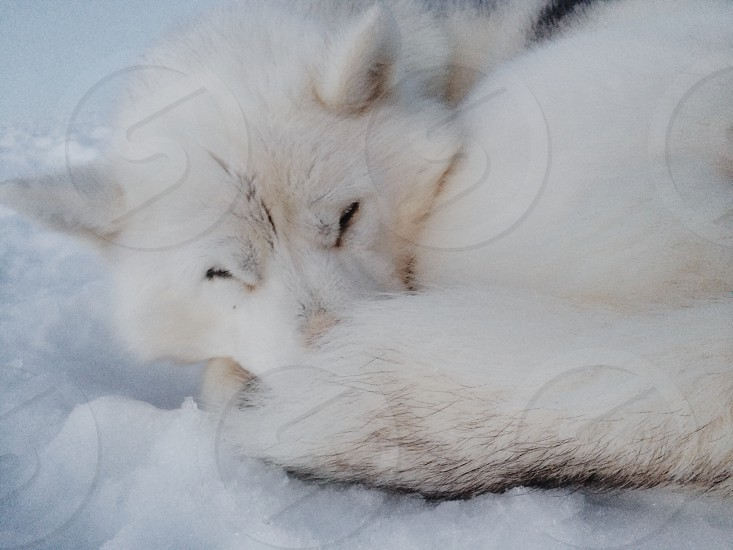 white eskimo dog lying on snow photo