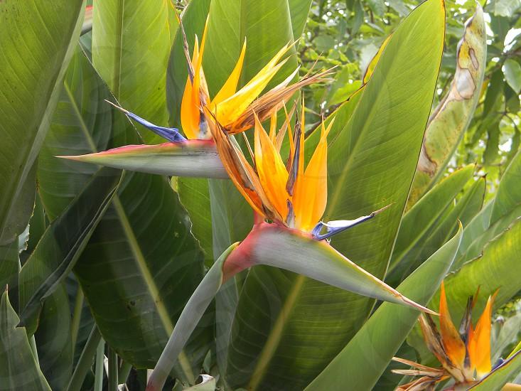 Birds of Paradise Springtime in San Diego photo