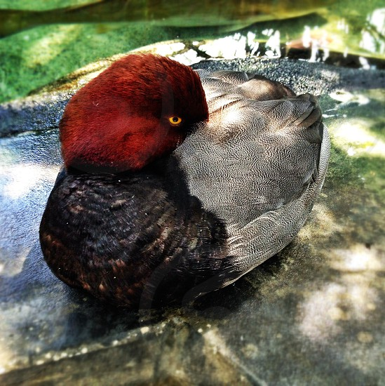 Redhead Duck Tampa Aquarium Florida photo