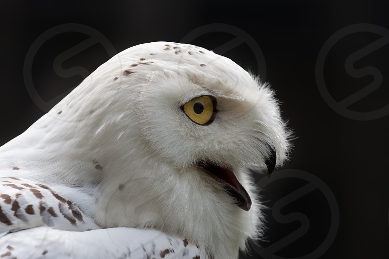 Snowy Owl (Bubo scandiacus) against a dark background photo