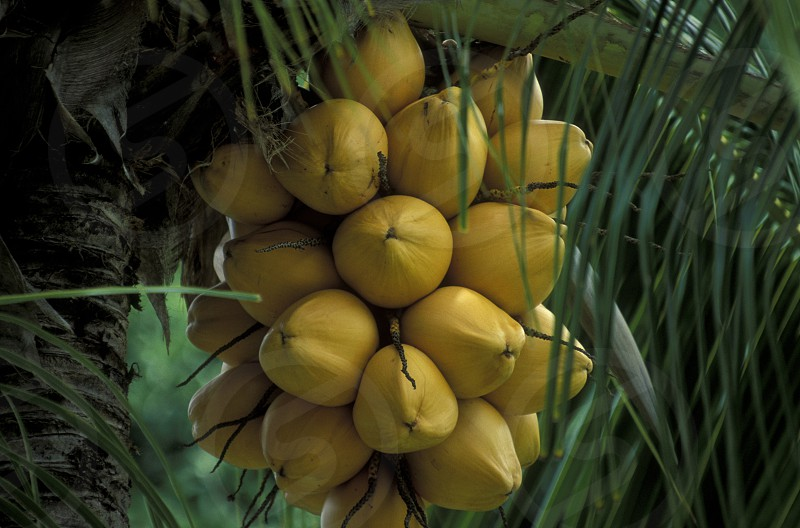 cocosnut on a Beach on the coast if the Island La Digue of the seychelles islands in the indian ocean photo