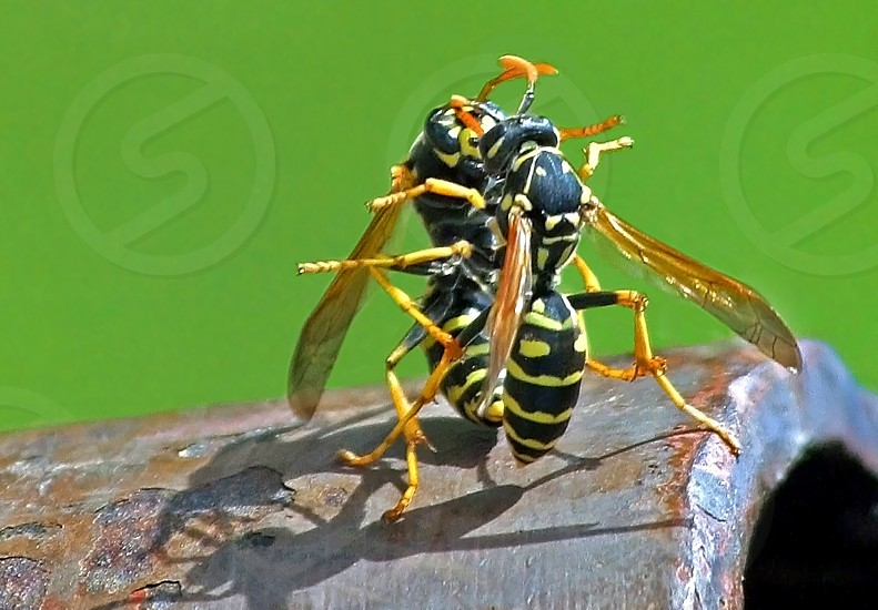 Wasp fight photo