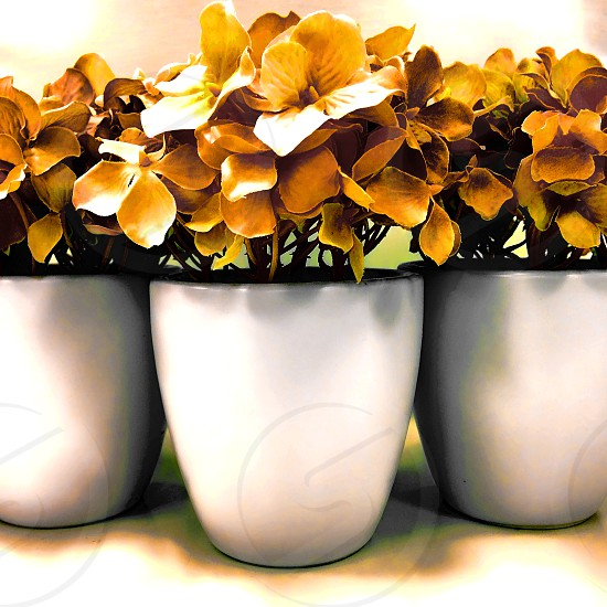 Three bunches of dry golden flowers are each in white enamel pots photo
