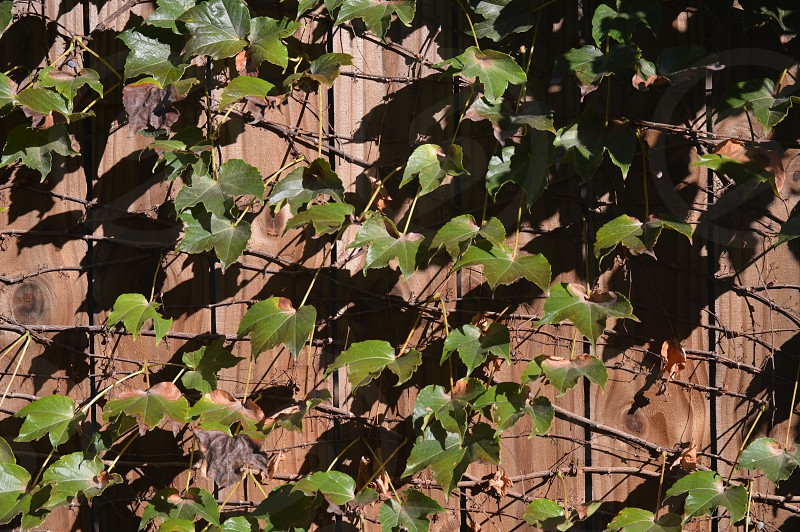 On the other side of the fence surrounding my house's backyard I found some serious vine growth and felt compelled to shoot it. photo
