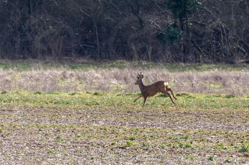 Red Deer (Cervus elaphus) in a field near East Grinstead photo
