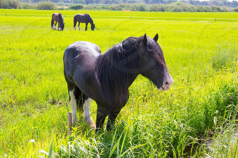 Horses in green yellow spring meadow in Valencia Spain photo