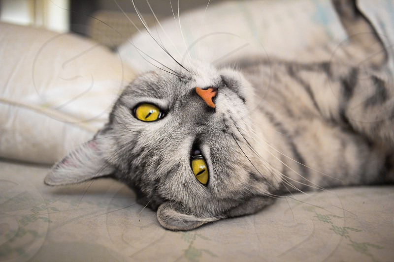 gray scottish yellow-eyed cat cute domestic feline fur lying mammal purebred whisker scotland hair looking adorable serious beautiful eyes funny furry grey home kitten kitty paw pet sofa lazy animal face portrait animals expression friend fuzzy head lovable muzzle pussycat veterinarian stretch interesting veterinary cropped pillow eye photo