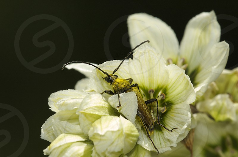 Gold. Cerambycidae beetle golden hairs covered with golden pollen photo