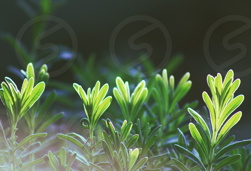 Early morning sun shining through the tops of a lavender plant's leaves photo