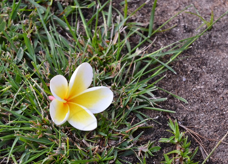 photography of white and yellow 5-petaled flower near green grass photo