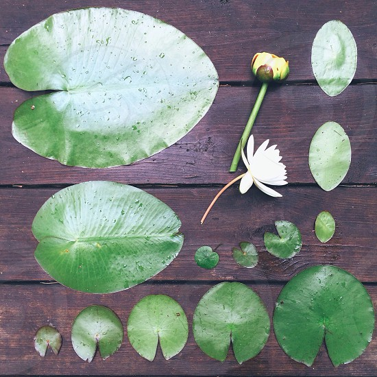 green plant water lily photo