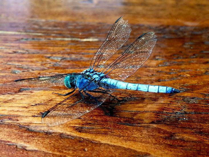 A beautiful dragonfly I found. photo