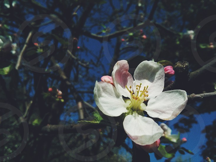 apple-tree blossom flower garden close up spring white colorful nature photo