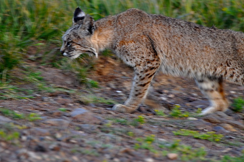 Bobcat lurking  photo
