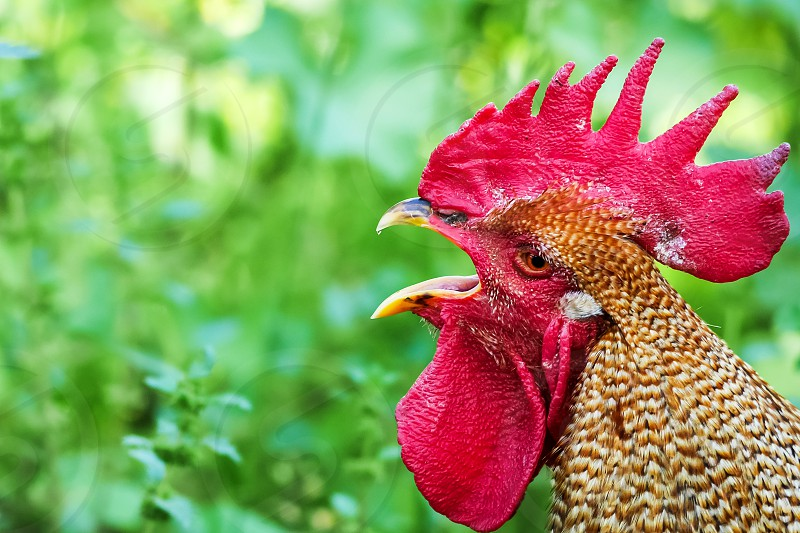 Close-up of Red Sex Link rooster crowing against a green background of grass  photo