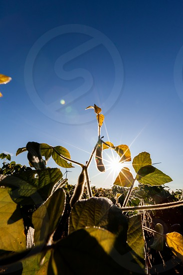 Starburst over a soy field in rural Quebec under the summer blue sky. photo