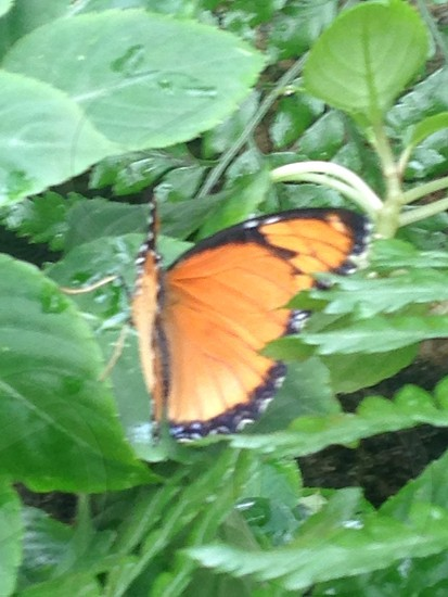 The Orange Butterfly photo