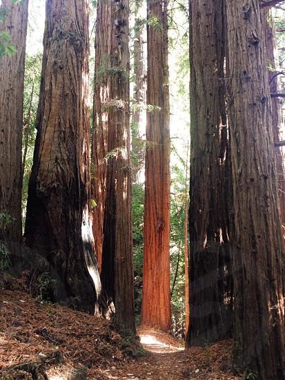 Ray of sunshine in the California redwoods photo